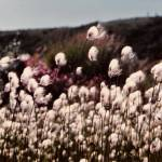 """Cotton Grass in Isabel Pass Alaska"" by PaintChip"