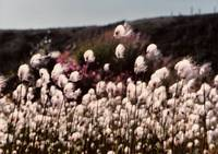 Cotton Grass in Isabel Pass Alaska