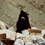 """Grizzly Bear in Denali Park garbage dump"" by PaintChip"