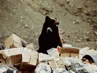 Grizzly Bear in Denali Park garbage dump
