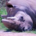 """""""White Rhinoceros"""" by azvirtual"""