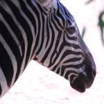 """Zebra"" by azvirtual"