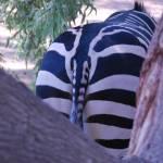 """""""Zebra Rear End"""" by azvirtual"""