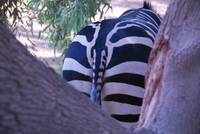 Zebra Rear End