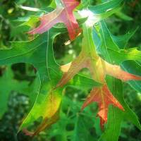 Autumn oak leaves Art Prints & Posters by Robin Simmons
