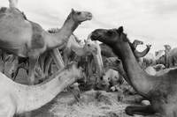 The Camel Market in Egypt by Kristie Burns