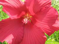 Hibiscus in the Sun by Kristie Burns