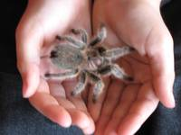 Tarantula in the Hand by Kristie Burns