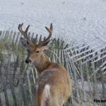 """Fire Island Deer"" by DingoStuff"