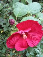 Hibiscus in the Shade by Kristie Burns