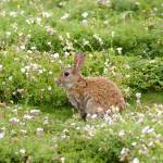 """Wild Rabbit on Isle of May"" by Braeside"