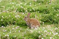 Wild Rabbit on Isle of May