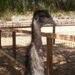 """Emu photo big"" by MicVavStudio"