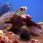 """""""Turtle Resting"""" by Thermocline"""