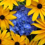 """Peak a boo Black eyed susans and a hydrangea"" by teishash"