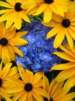 Peak a boo Black eyed susans and a hydrangea
