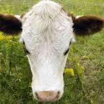 """Big Head Cow"" by mentat"