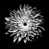 Chrysanthemum - b&w large