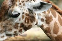 Baby Giraffe Close up