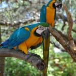 """Macaws"" by JacquelineArndt"