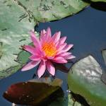 """Water Lilly 13"" by Steve_Wolf"