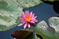 Water Lilly 13