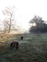 Babydoll Southdown Sheep at Dawn