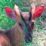 """""""Muntjac Deer Face"""" by azvirtual"""