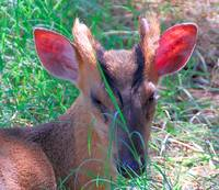 Muntjac Deer Face