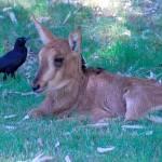 """Sable Antelope Baby"" by azvirtual"