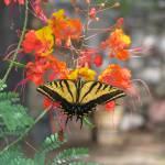 """Tiger Swallowtail II"" by MarksClickArt"