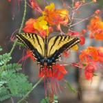 """Tiger Swallowtail III"" by MarksClickArt"