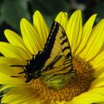 """Tiger Swallowtail VI"" by MarksClickArt"