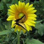 """Tiger Swallowtail VII"" by MarksClickArt"