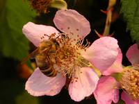 bee_blackberry_blossom_2