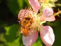 bee_blackberry_blossom_3