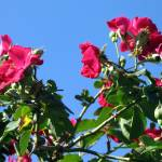 """Red Roses Against Blue Sky"" by ChristineTalley"