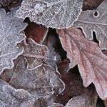 """""""Frosty leaves"""" by conwytrees"""