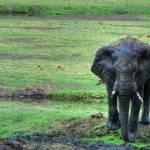 """Elephant in mud"" by michaelgrabowski"