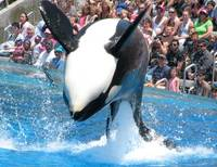 Shamu - Sea World San Diego