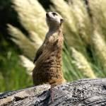 """""""Meerkat watch"""" by dawnanderson"""