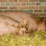 """Pigs Sleeping"" by davidwheeldon"