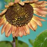 """""""Sunflower after the rain"""" by dawnanderson"""