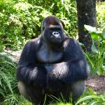 """Silver back gorilla in the Shade"" by dawnanderson"