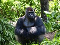 Silver back gorilla in the Shade
