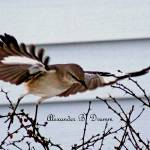 """Northern Mockingbird in Flight"" by StudioAlex"