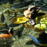 """Pygmy Goose Family"" by dawnanderson"