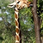 """""""Giraffe"""" by dawnanderson"""