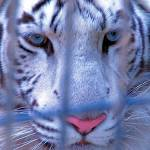 """""""White Tiger Caged"""" by azvirtual"""