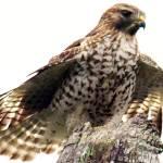 """""""Hawk Wing"""" by dawnanderson"""